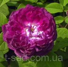 Троянда «Кардинал Рішельє», корінь ОКС