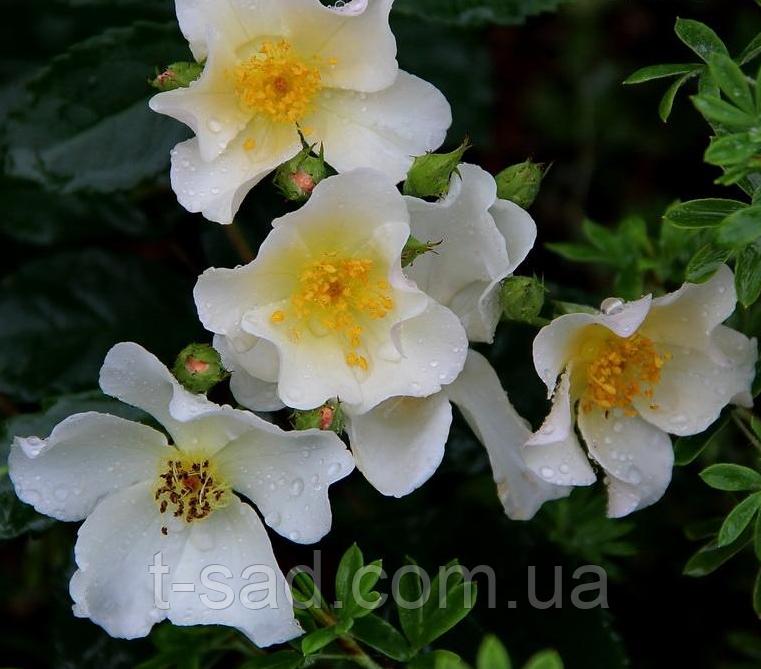 Троянда «Rosalita», шраб, корінь ОКС