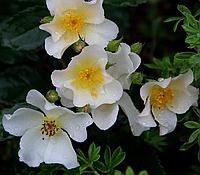 Роза «Rosalita», шраб, корень ОКС