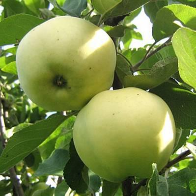 Саджанці яблуні Антонівка
