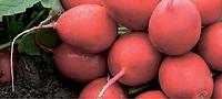 Семена редиса Мондиал F1 25000 семян (3,00-3,25) Rijk Zwaan
