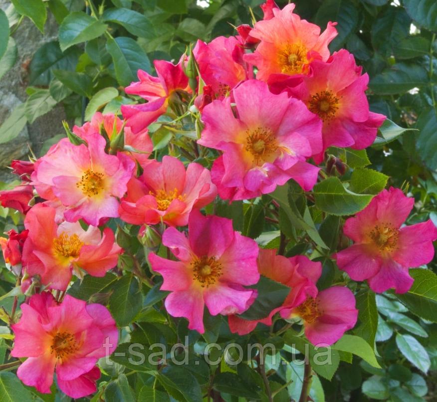 Роза Yann Arthus-Bertrand Meilland, корень ОКС