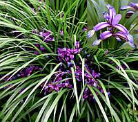 Ирис злаковидный (Iris graminea), р9