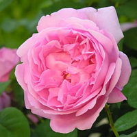 Роза английская «Mary Rose», корень ОКС