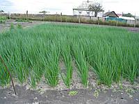 Семена лука на перо Вулкан 100 грамм