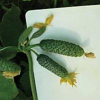 Семена огурца KS 90 F1 1000 семян Kitano seeds