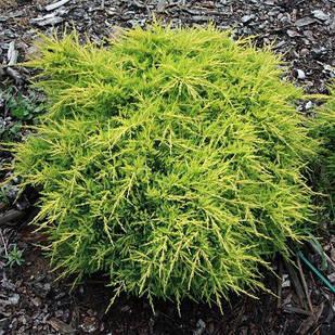 Саженцы Можжевельника среднего Голд Киссен (Juniperus media Gold Kissen)