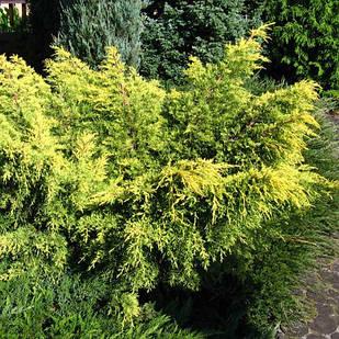 Саженцы Можжевельника средннго Кинг оф Спринг (Juniperus x media King of Spring)