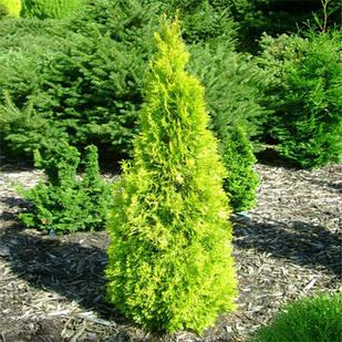 Саженцы Туи западной Голден Смарагд (Thuja occidentalis Golden Smaragd)