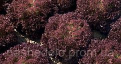 Семена салата Конкорд 1000 семян Rijk Zwaan