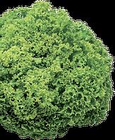 Семена салата Локарно 1000 семян Rijk Zwaan
