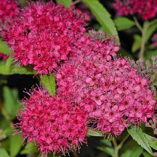 Саженцы Спиреи японской Антони Ватерер (Spiraea japonica Anthony Waterer)