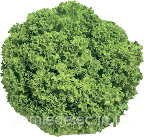 Левистро 1000 сем. салат полукачанный РЦ