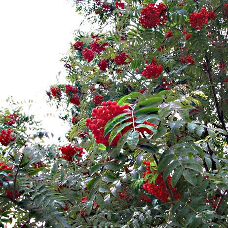 Саджанці Горобини звичайної (Sorbus aucuparia )