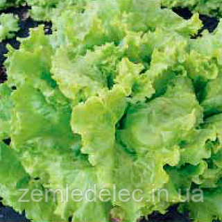 Семена салата Афицион 5 грамм Rijk Zwaan