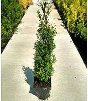 Thuja occidentalis 'Ericoides' Туя західна 'Ерікоідес'(рос.:Thuja occidentalis 'Ericoides' Туя западная),P9