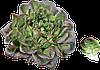Семена салата Кли 5000 семян Rijk Zwaan
