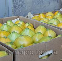 Семена томата Ямамото F1 (KS 10 F1) 1000 семян Kitano seeds