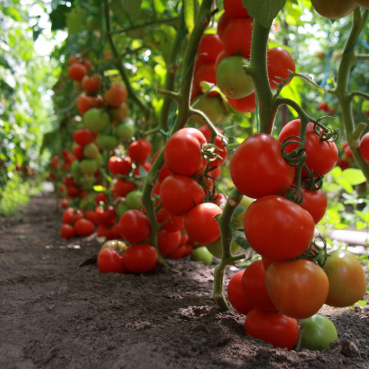 Семена томата Тайлер F1 1000 семян Kitano seeds
