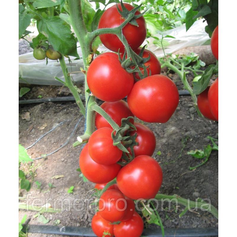 Насіння томату Хитомакс F1 1000 насінин Kitano seeds