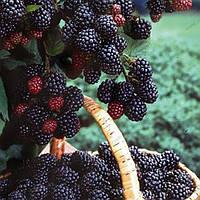 Черная малина Кумберленд — за что ценится этот американский сорт?