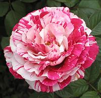 Американская роза «Rock & Roll», корень ОКС