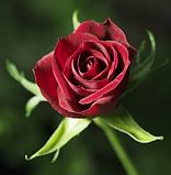 Роза «Скарлет Мерседес».спрей, фото 2