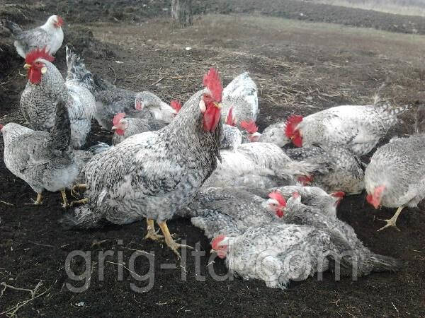 Цыплята породы Борковская барвиста