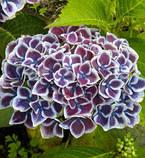 Гортензия крупнолистная Tivoli blue(Тиволи) 2г, фото 2