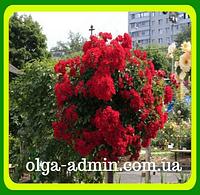 Штамбовая роза красная  сорт Кордула  ( саженцы )