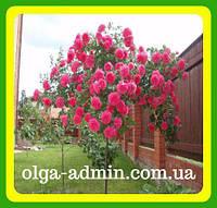 Штамбовая роза Пурпурно Малиновая  ( саженцы )