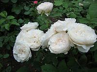 "Роза английская ВИНЧЕСТЕР КАФЕДРАЛ ""WINCHESTER CATHEDRAL"" вегетирующий саженец"