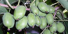 Актинидия аргута Крупноплодная 2 года, h-1-1.2м (на шпалере)