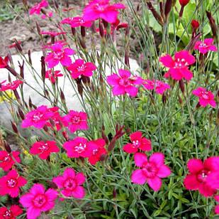Саженцы Гвоздики травянки или Гвоздики дельтовидной (Dianthus deltoides)