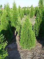 110- 120 см. туя Смарагд (Smaragd). Продажа хвойного колоновидного дерева в Киеве, фото 1