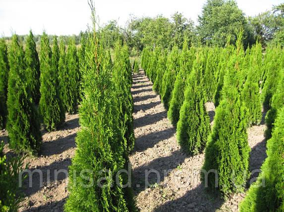 Предлагаем купить тую Смарагд (Smaragd) 160 см. в Киеве, фото 2