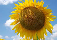 Семена подсолнечника Жалон