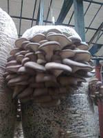 Мицелий грибов вешенка