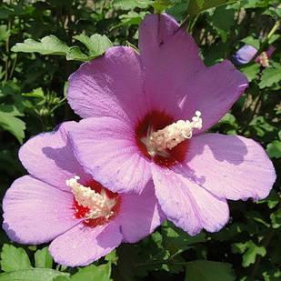 Саджанці Гібіскуса сирійського бузковий (Hibiscus syriacus)
