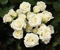 Роза бордюрная Вайт лидия ( саженцы )