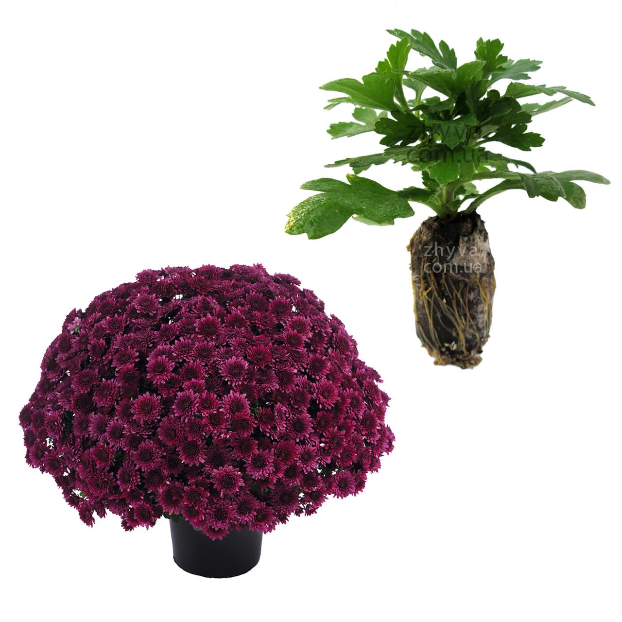 "Саджанці Хризантема Multiflora ""Avalon Purple'' 1шт / Рассада Хризантема Multiflora ""Avalon Purple''"