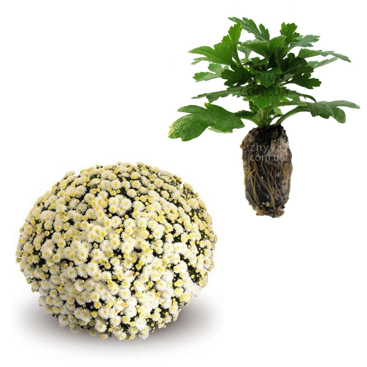 "Саджанці Хризантема Multiflora ""Estilo White'' 1шт / Рассада Хризантема Multiflora ""Estilo White''"