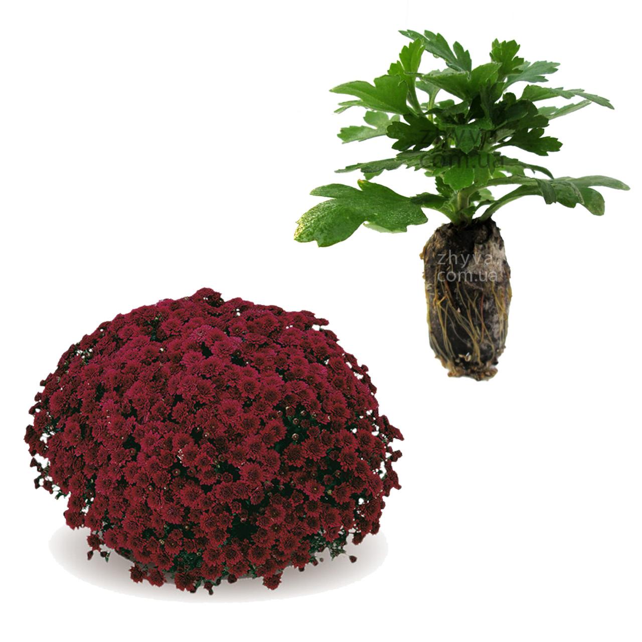 "Саджанці Хризантема Multiflora ""Galatino Purple'' 1шт / Рассада Хризантема Multiflora ""Galatino Purple''"