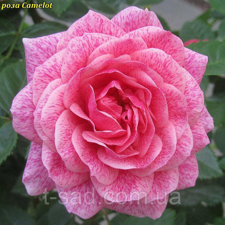 Роза Camelot (Камелот)