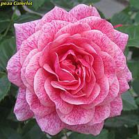 Роза Camelot (Камелот), фото 1