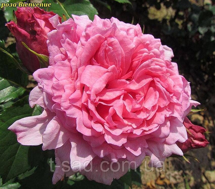 Роза Bienvenue (Добро пожаловать) корень ОКС