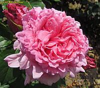 Роза Bienvenue (Добро пожаловать) корень ОКС, фото 1
