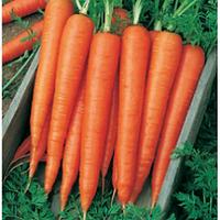 Морковь Велес F1 (пакет 25000шт)