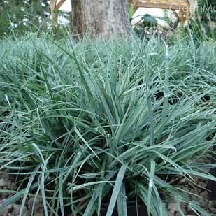 Саженцы Осоки повислой Блю Зингер (Carex flacca Blue Zinger)