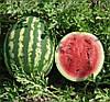 Семена арбуза Кримсон Свит, 500гр., банка